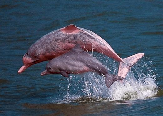 3D2N Amazon River, Pink Dolphin Tour dall'aeroporto di Iquitos